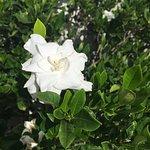 Blooming gardenia bushes.  I am in heaven.