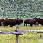 Large herd of bison with calves.