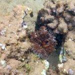 Octopi wedged among some coral - Kamaole III Beach - left
