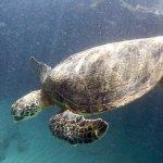 Beautiful morning sunlit green turtle -- Kamaole III