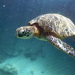 Another view of the green turtle [honu]