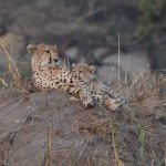 Cheetahs in Tarangire first day late afternoon
