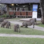 Hogs wander in to eat the grass