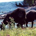 Sheep in Bungenas Naturreservat in the south part of Farosund Fastning Farosund Sweden 5