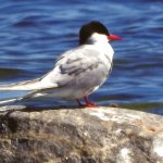 Sterna paradisaea (Arctic Tern) Bungenas Naturreservat in the south part of Farosund Fastning