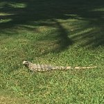 Iguana eating grass