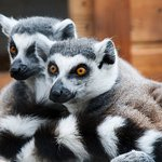 Two of our ring-tailed lemurs