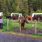 The covered wagons that takes guests to and from the cookout