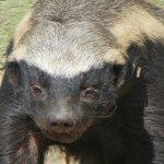 Don't trust the Honey Badger...