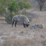 One of the many Hyena we saw in our trip