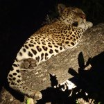 Our second leopard sighting - also had a zebra kill in the tree.