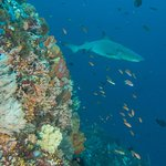 Reef tip shark