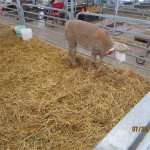 sheep in Brown arena by 17th Ave