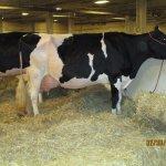 cows in Gilligan Complex