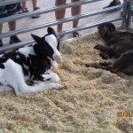 holstein twin calves born 2 days ago at the fair