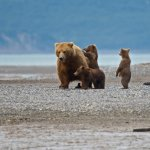 A sow and her three cubs on the roam at Hallo Bay.