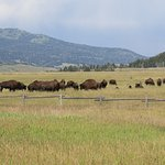 Bison observed on half-day (afternoon) wildlfie safaris to Grand Teton National Park