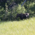 Cow moose seen of half-day (afternoon) wildlife safaris to Grand Teton National Park