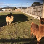 The friendly Alpacas
