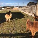 The friendly Alpacas