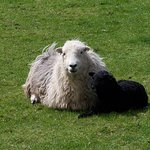 Herdwicks - the Cumbrian sheep