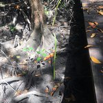Planting a mangrove tree