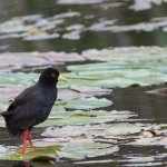 Black Crake, strolling over the lily pads