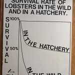 Why the only U.S. Lobster hatchery is important if you enjoy lobster