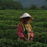 Tea leaf picker.