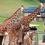 Safari with tents and giraffes