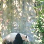Panda on the prowl