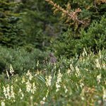 We spotted a mother ptarmigan and 7 chicks. I've been hiking 40+ years and this was a first for