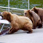 Mother bear scraps with another bear at the fish ladder while cubs watch.