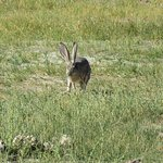 a hare at South Tufa