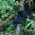 King of the bridge black bear style.