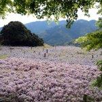 Photo of Kitakyushu City Kawachi Fuji Garden Wisterias Blossom