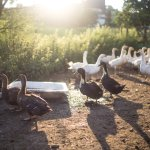 Chéf Plawecki serves poultry from his own kennel