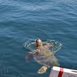 turtle in Argostoli