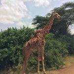 Gentle ennui of the gorgeous giraffe