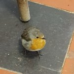 Dave the Robin who sometimes finds his way to the tearoom