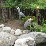 Which one is the REAL Great Blue Heron?!