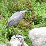 Great Blue Heron - Japanese Friendship Garden