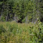 A bull moose spotted on the roadside.