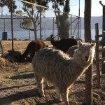 Alpacas in the hotel grounds