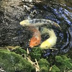 The 'pet' Koi fish you can feed from your room.