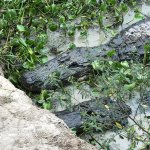 Photo of Kliebert's Turtle & Alligator Farm