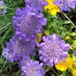 Scabiosa 'Butterfly Blue' close up