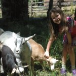 The social goats interacting with a 6-year-old.