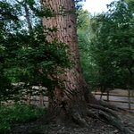 Grapevine Botanical Garden Ancient tree
