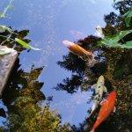 Grapevine Botanical Garden- Koi pond